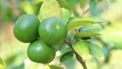 Lime Juice Could Save 100's Of Thousands Of Lives Each Year