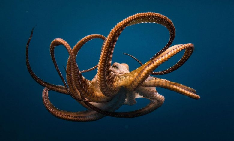 Octopuses Are Deep Sea Bullies That Punch Fish Out Of 'Spite' Or Just For Fun, Study Finds