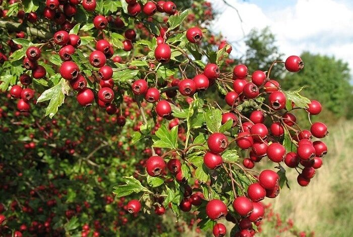 Hawthorn Berries Can Benefit Your Heart, Liver and Skin