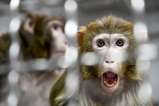 Scientists Create First-Ever Embryos With Monkey And Human Cells