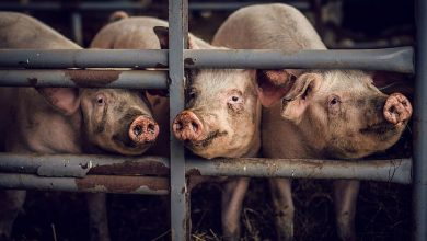 EU Parliament Overwhelmingly Votes To End Caged Animal Farming