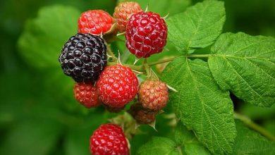 Surprising Health Benefits of Black Raspberries